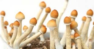 Avail some of the major health benefits by consuming Penis Envy Mushrooms!